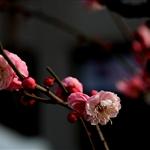 Shanghai Plum Blossom Festival, China