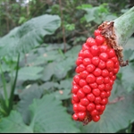 姑婆芋鮮紅果實