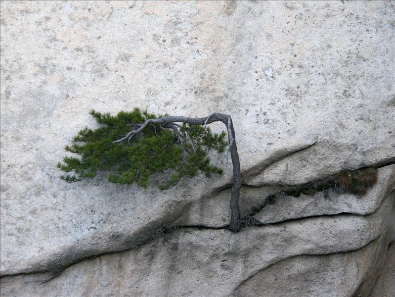 長在對面山壁上很有禮貌的樹
