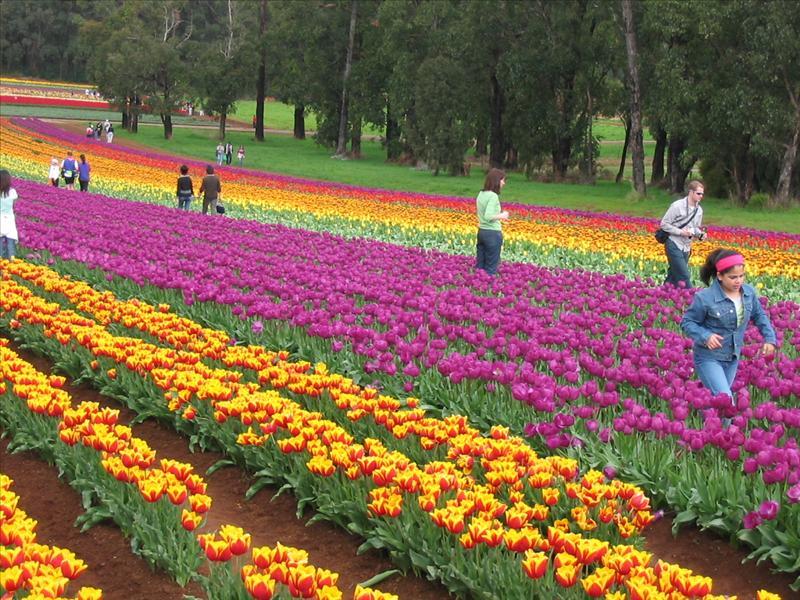 Pretty colorful Tulips