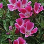 草原野花1