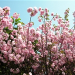 春遊「百萬葵園」賞櫻和桃(2011)
