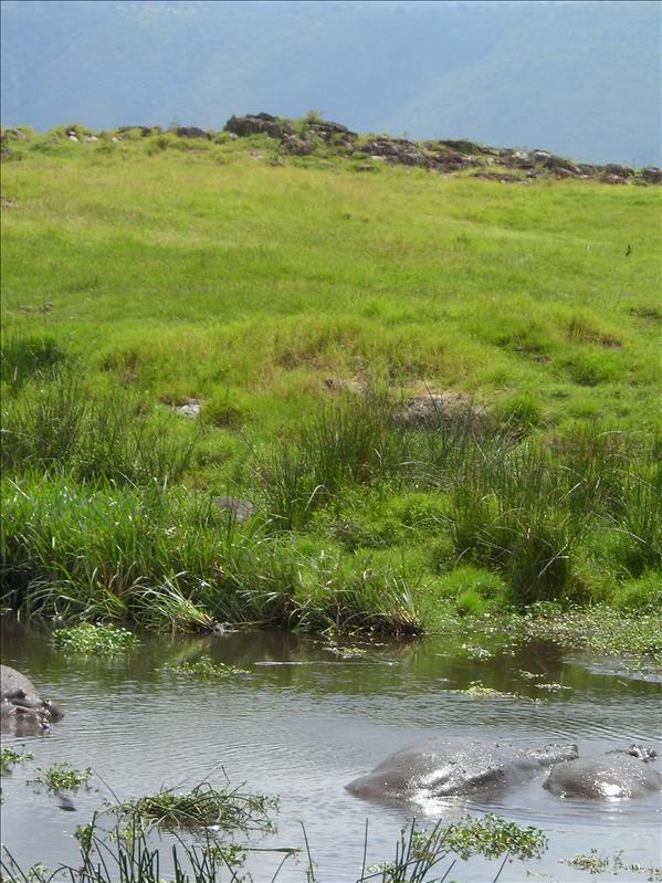 hippopotamus•Ngorongoro