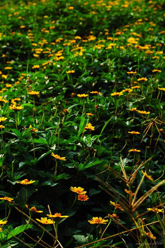 穿過長滿小黃花的田野