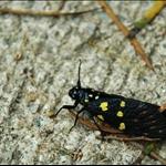 DSC_1908 黃點斑蟬(黑蟬)Gaeana maculata.jpg
