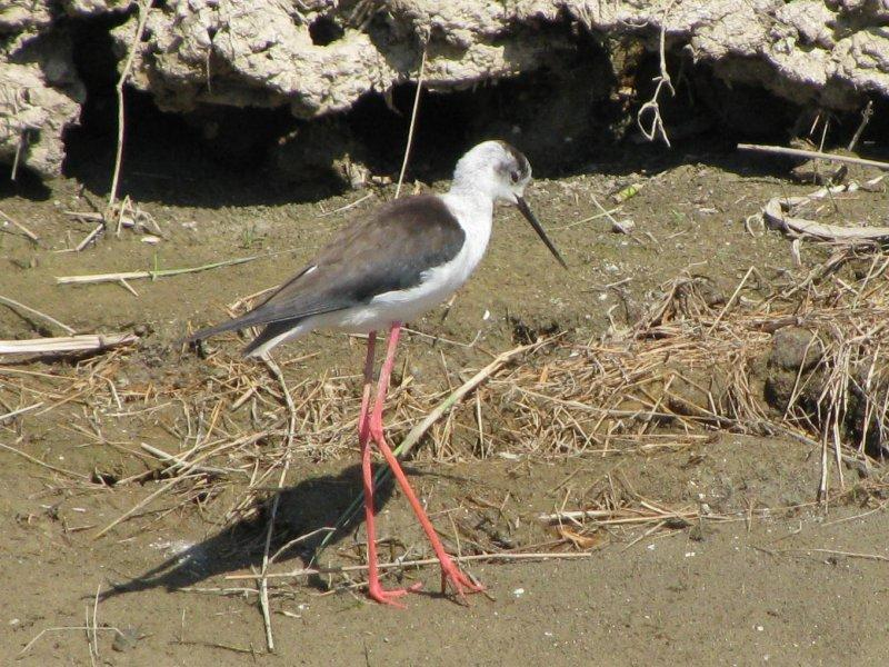 ... where we saw many birds including stilts ...