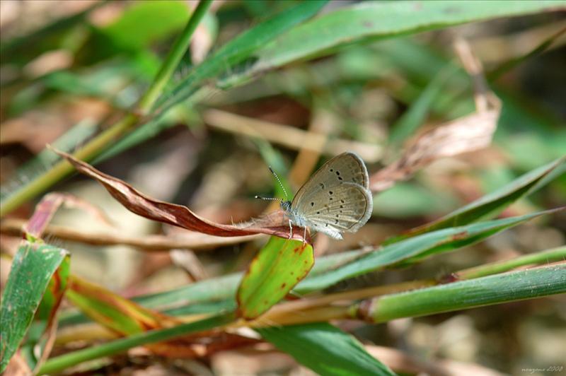 DSC_7346 吉灰蝶 Zizeeria Karsandra (Dark Grass Blue).jpg