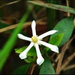 DSC_2576 絡石藤 Trachelospermum jasminoides.jpg