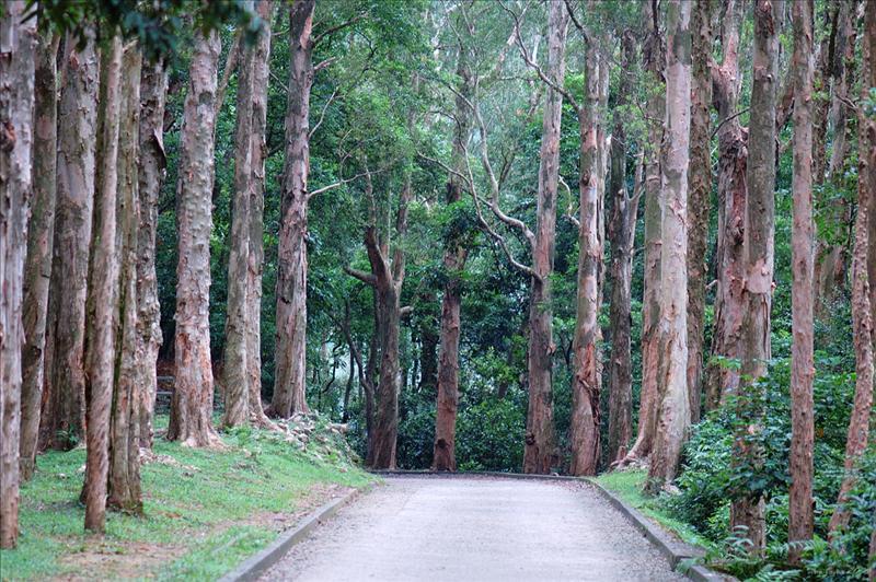 Melaleuca quinquenervia  (Paper-bark trees) 白千層步道