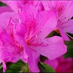 紫杜鵑花 Purple Azalea