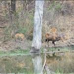 Bushbucks