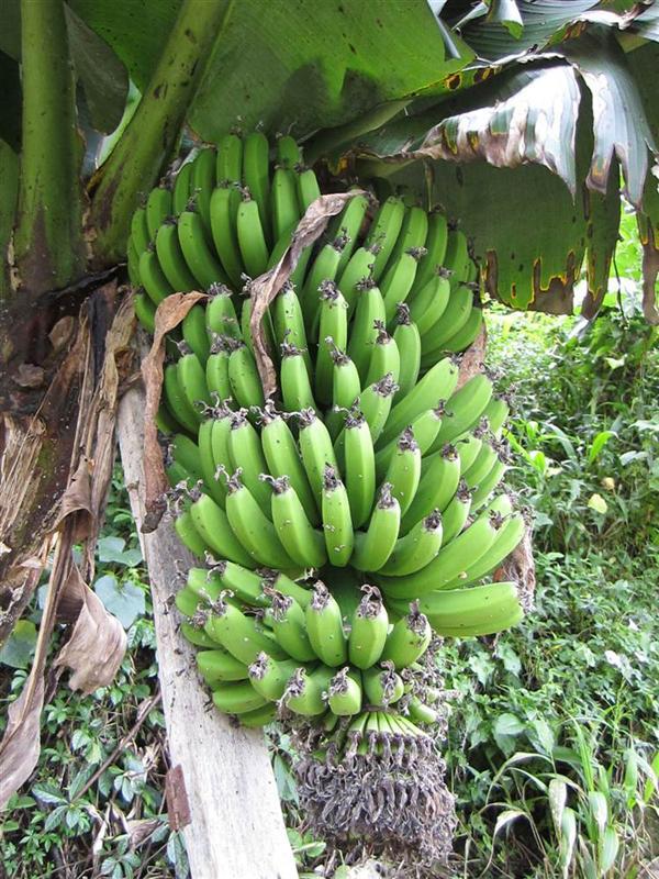 banany na drzewie