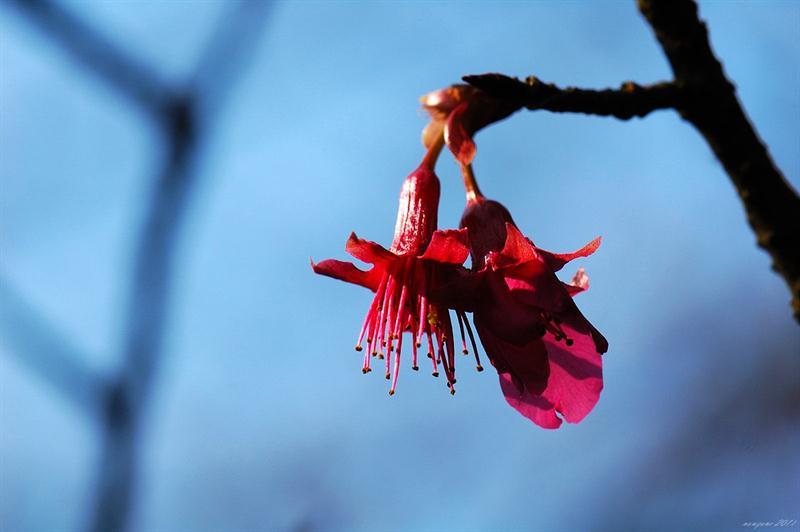 鐘花櫻桃仍未盛開