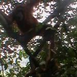 10. Sumatra - Orang-utan.JPG
