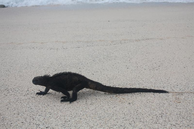 Marine Iguana making his way down the beach...