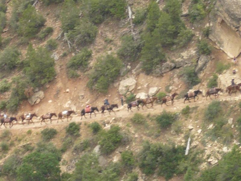 mules Grand Canyon