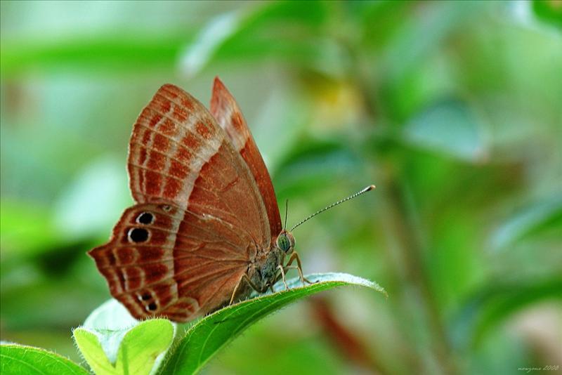 蛇目褐蜆蝶Abisara echerius (Plum Judy)