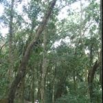 棲蘭森林步道 (13).JPG