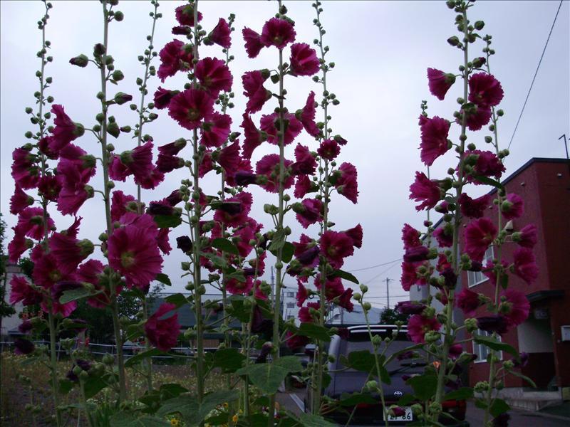 札幌常見的花,又大又高
