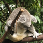 Sleeping Koalas at Australia Zoo