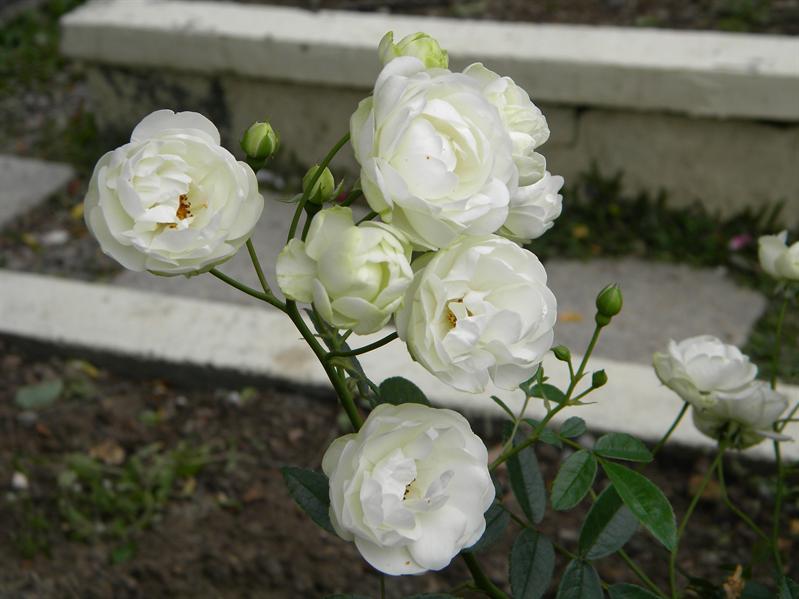 士林官邸玫瑰花