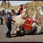 10元骑一次的骆驼,其实它们很可怜……