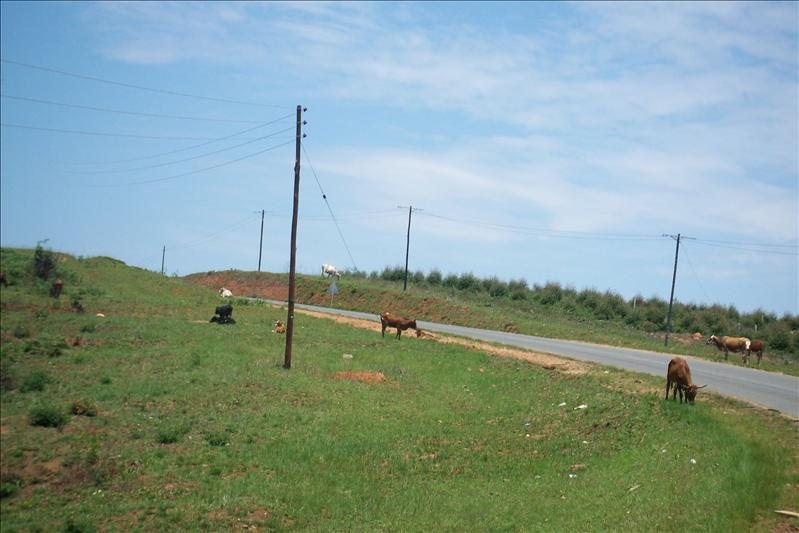 cows on the road side / vaches sur les bas cotés