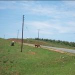 cows on the road side / vaches sur les bas cotés