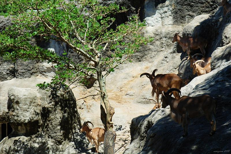 北非髯羊 Aoudad Sheep,Barbary Sheep