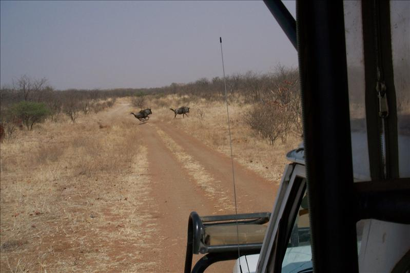 Crossing wildebeest