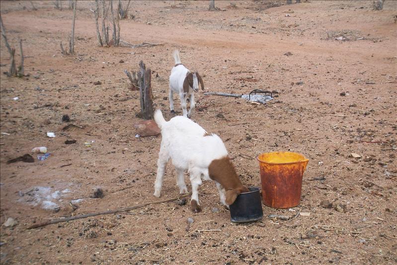 goats / chèvres