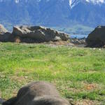 12. New Zealand - Kaikoura - breakfast with the seals!.JPG