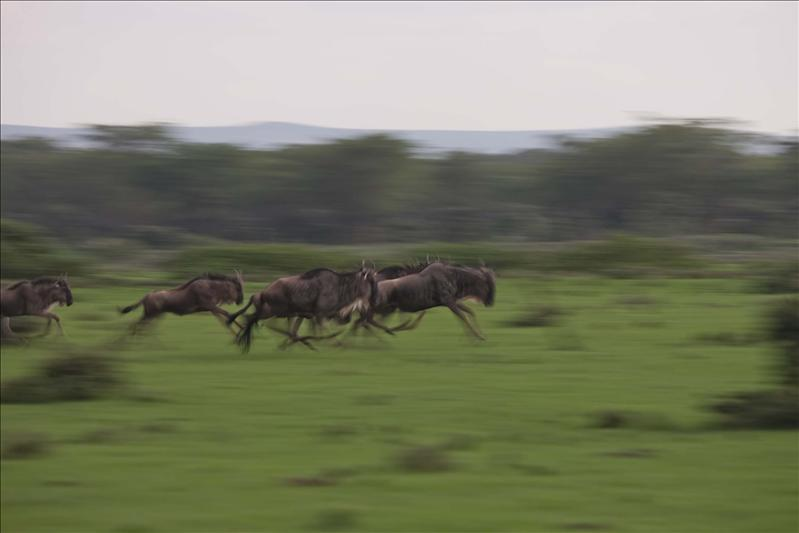 100 mts dash for Wildebeest