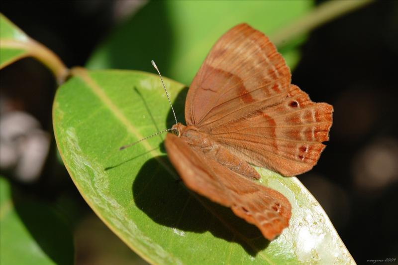 蛇目褐蜆蝶 Abisara echerius (Plum Judy)