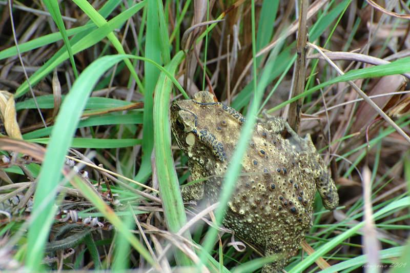 黑眶蟾蜍 Asian Common Toad (Bufo melanostictus)