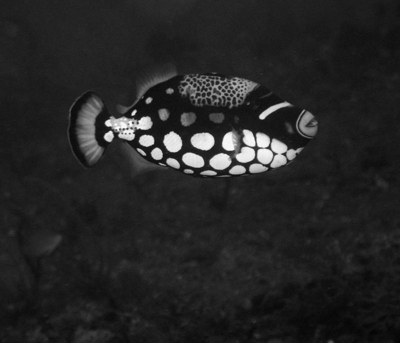 Tiger fish is swimming...