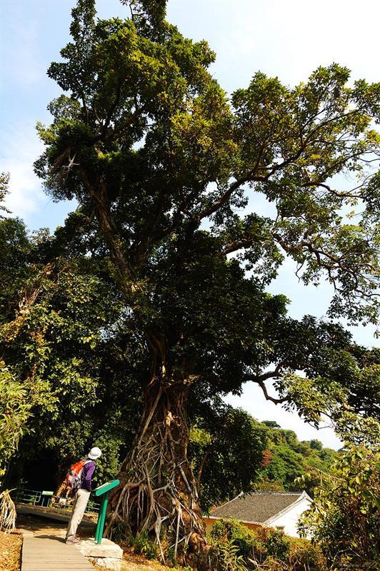 慘遭霸道榕樹樹根糾纏的秋楓大樹