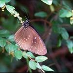 DSC8072 藍點紫斑蝶Euploea midamus (Blue-spotted Crow).jpg