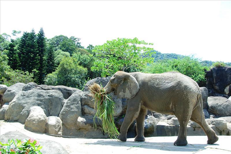 非洲象African Elephant
