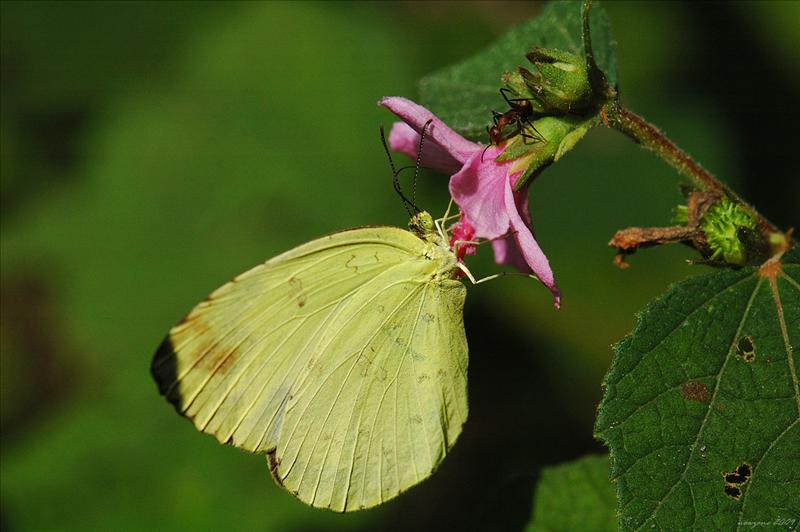 Eurema hecabe hecabe 寬邊黃粉蝶(Common Grass Yellow)
