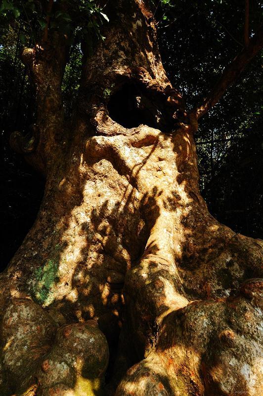 通心樹 - 秋楓. The Hollow Tree – Autumn Maple