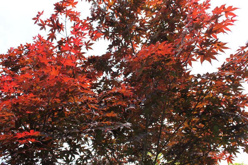 五月梨山的紅葉