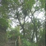 棲蘭森林步道 (15).JPG