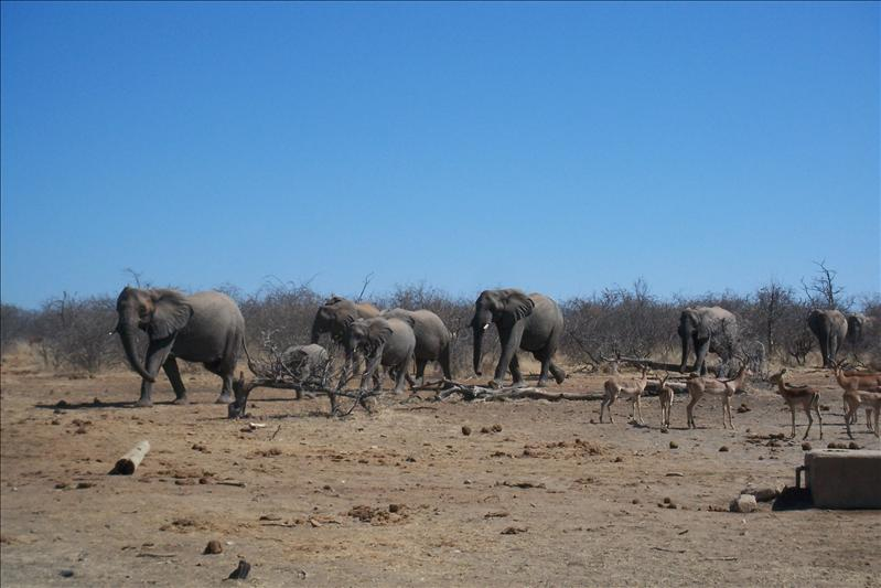 Elephants horde