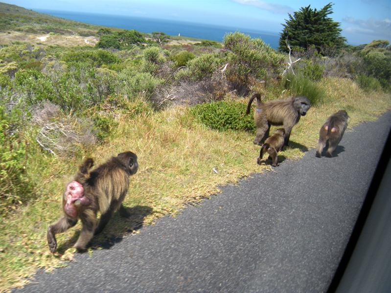 Gibbons at Cape of Good Hope