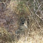 lioness / lionne