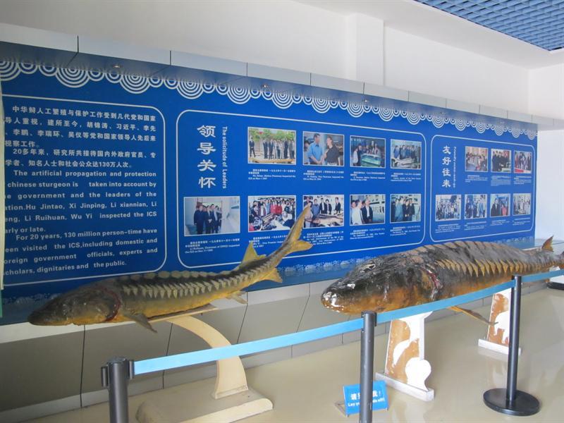 Yichang ( 宜昌 ) of Hubei Province ( 湖 北 省-)--- Sturgeon Museum ( 中華鱘園)