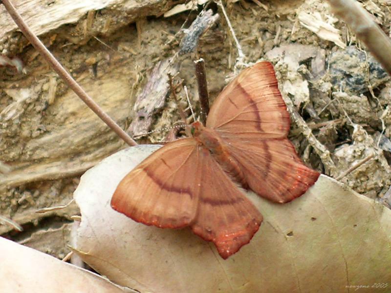 Abisara echerius 蛇目褐蜆蝶