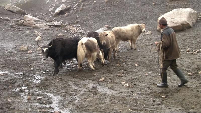 Meeting the Yaks