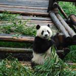 Panda-resized.jpg